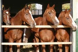 stock-photo-purebred-anglo-arabian-chestnut-horses-standing-at-the-barn-door-537535378