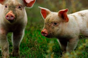 stock-photo-young-pigs-on-green-lawn-near-the-bio-farm-free-animals-556132672